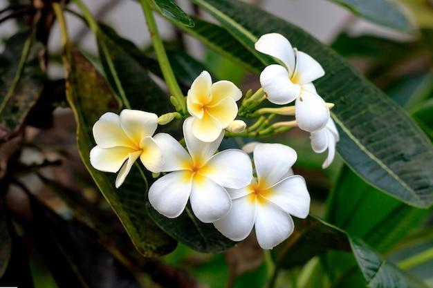 Close-up leelawadee bloem met soft-focus en meer dan licht op de achtergrond
