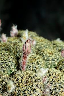 Close-up lobivia cactus plant in de tuin.