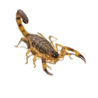Close-up macro gele of bruine schorpioen vooraan op witte achtergrond, klein dier is giftig reptiel in de staart voor angel om prooi te jagen of zelfbescherming is te zien in de keerkring