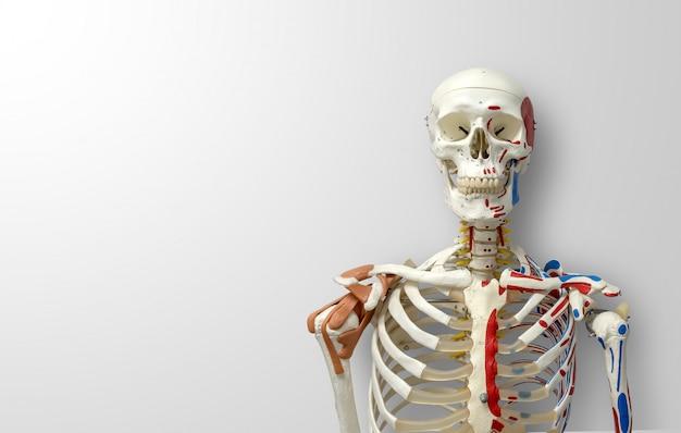 Close-up menselijk skelet model
