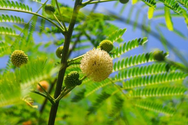 Close-up mimosa bloemtak