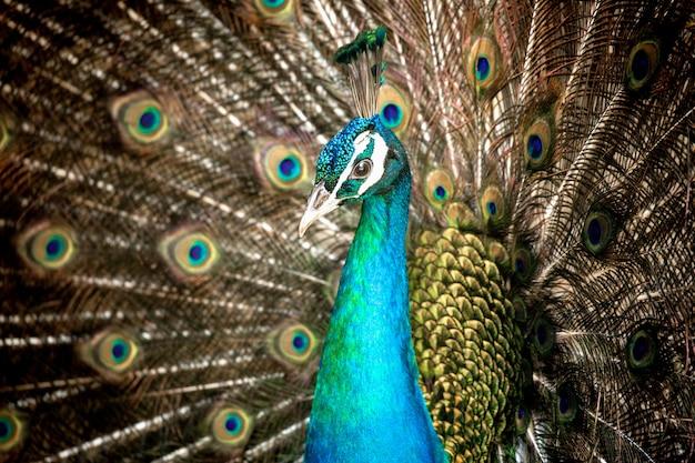 Close-up mooie bruine pauw