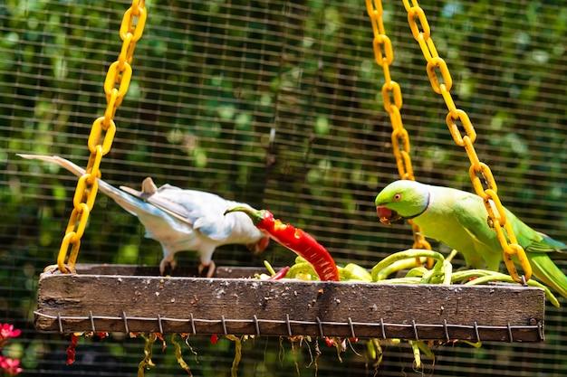 Close-up mooie gekleurde papegaai in het park dat roodgloeiende peper eet. vogels kijken