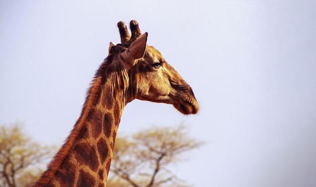 Close-up namibische giraf op natuurlijke lucht
