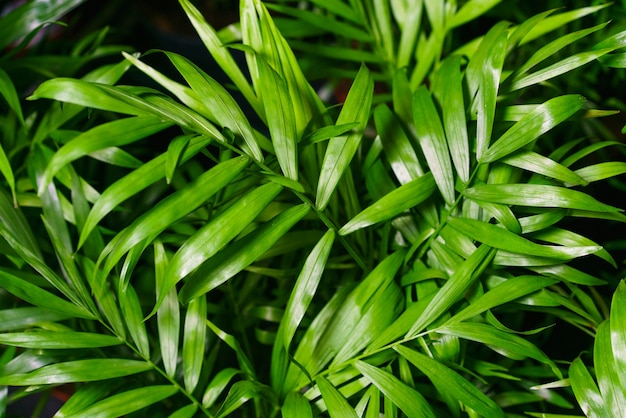 Close-up op de bladeren van een bamboe palm chamaedorea seifrizii van kamerplanten groene bladeren van kamer...