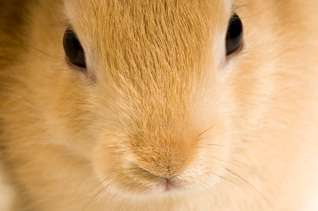 Close-up op een close-up op geïsoleerd konijn