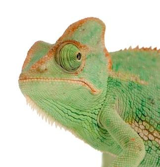 Close-up op een geïsoleerd jemen kameleon