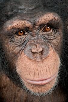 Close-up op een hoofd van een jonge chimpansee - simia-holbewoners op een geïsoleerd wit