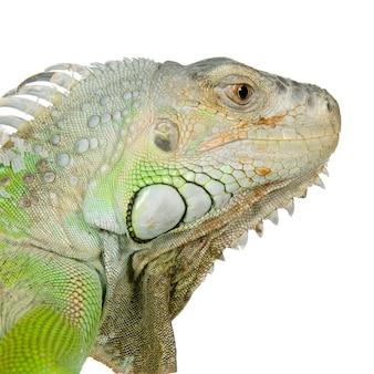 Close-up op een leguaan voor een witte achtergrond