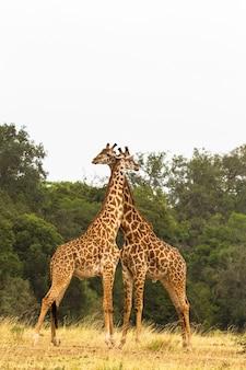 Close-up op giraffen oorlog in de savanne