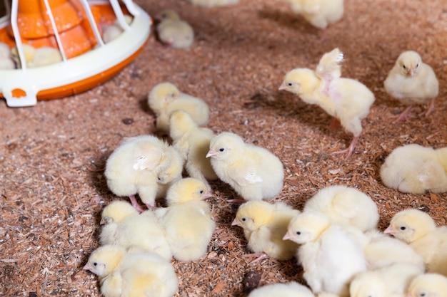 Close-up op kuikens op een pluimveebedrijf