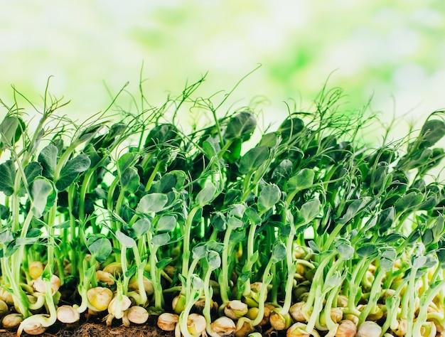 Close-up op microgreens van gekiemde erwten