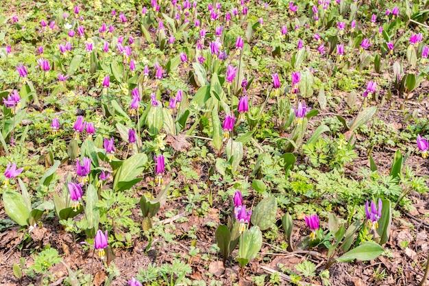Close-up op paarse lentebloemen in het bos