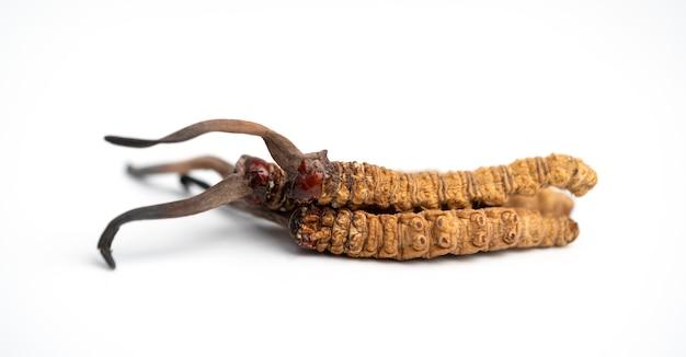 Close-up ophiocordyceps sinensis of paddenstoel cordycep dit is een kruid. geneeskrachtige eigenschappen bij de behandeling van ziekten.