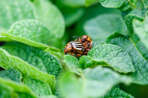 Close-up paar gestreepte coloradokevers insecten kevers op elkaar zitten bij aardappelbladeren, schadelijk voor de oogst van ongediertegroenten