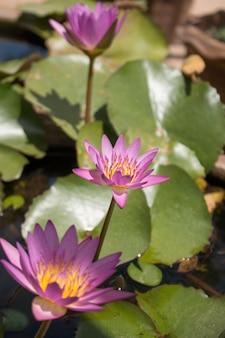 Close-up paarse kleur verse lotusbloesem of waterlelie bloem bloeien op vijver achtergrond, nymphaeaceae