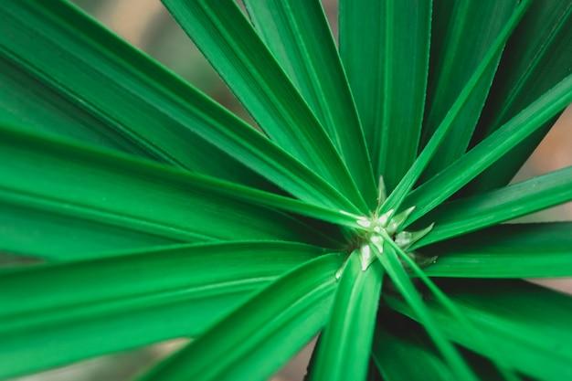 Close-up paraplu plant, papyrus, cyperus alternifolius l.