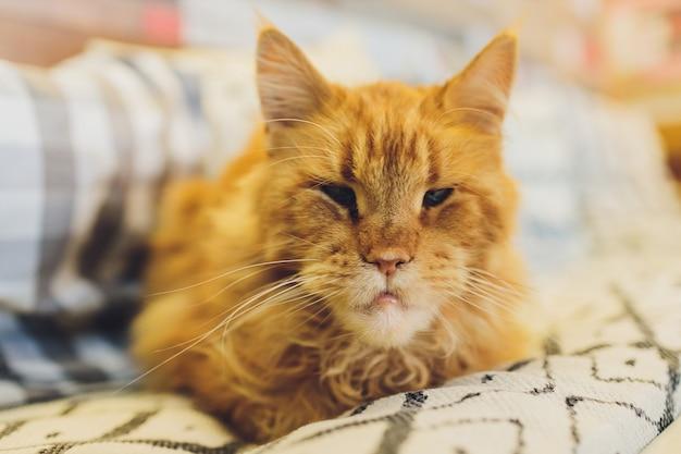 Close-up portret van boze rode maine coon kat met grappige kin kijkt in de camera.