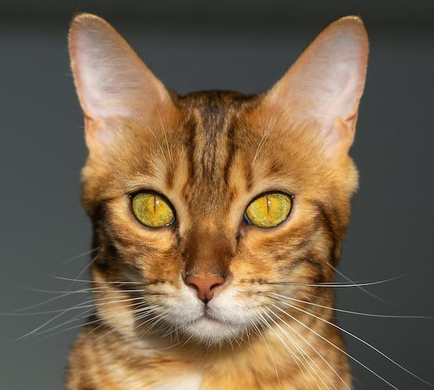 Close-up portret van een bengaalse huiskat natuurlijk zonlicht