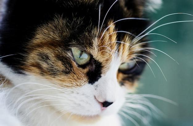 Close-up portret van een ernstige driekleurige kat met groene slimme ogen