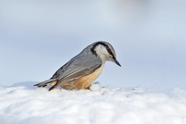Close-up portret van een euraziatische nuthanch zit op een sneeuw