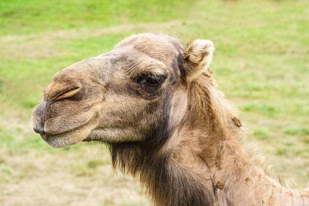 Close-up portret van een kameel met een groen veld op de achtergrond
