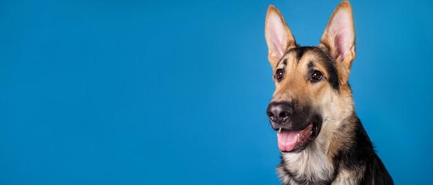 Close-up portret van een mooie duitse herdershond op blauwe achtergrond blue