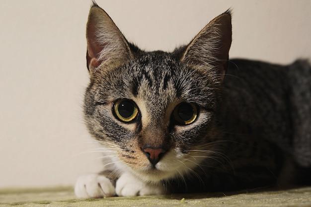 Close-up portret van een schattig gestreept kitten indoor shooting