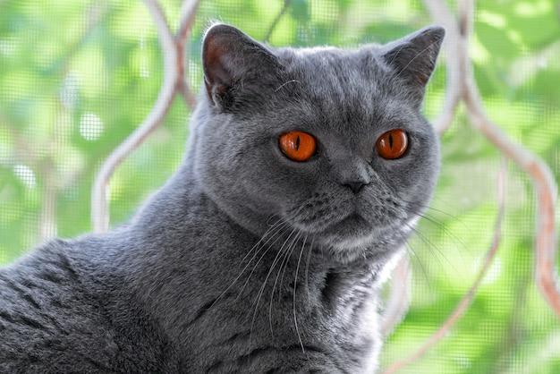 Close-up portret van een schattige korthaar britse kat