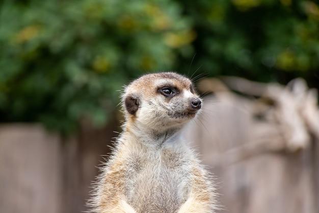 Close-up portret van een schattige meerkat die rondkijkt in een dierentuin