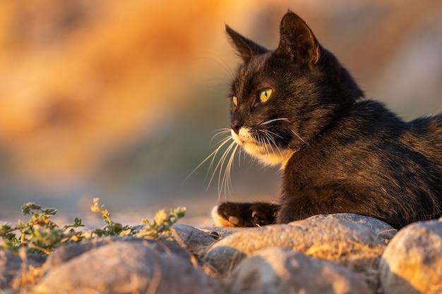 Close-up portret van een zwarte huiskat, verlicht door de stralen van de rijzende zon.