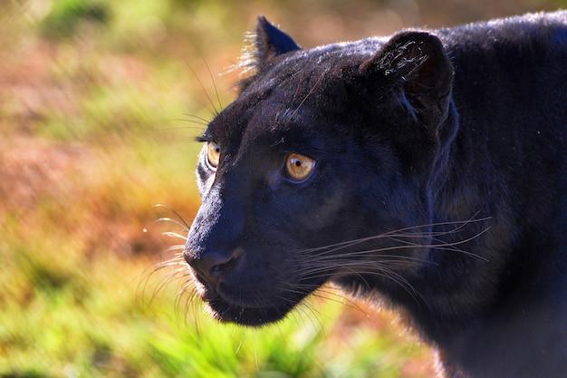 Close-up portret van een zwarte luipaard