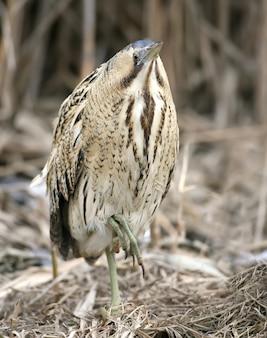 Close-up portret van grote roerdomp in winter daglicht. de vogel staat op de ene poot, de andere is opgeheven. de identificatietekens van de vogel en de structuur van de veren zijn duidelijk zichtbaar.