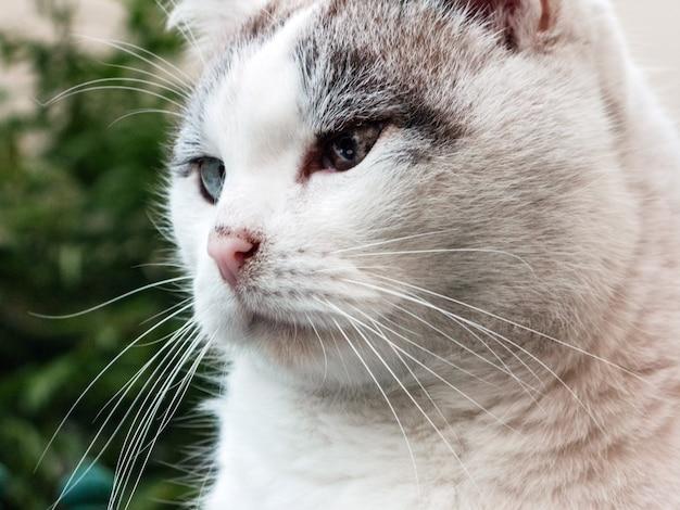 Close-up portret van het gezicht van een witte blinde kat