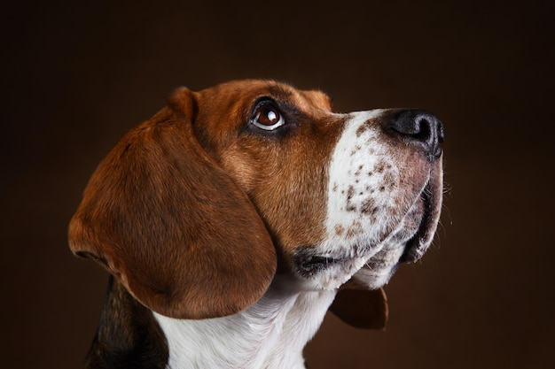 Close-up portret van mooie amerikaanse beagle hond