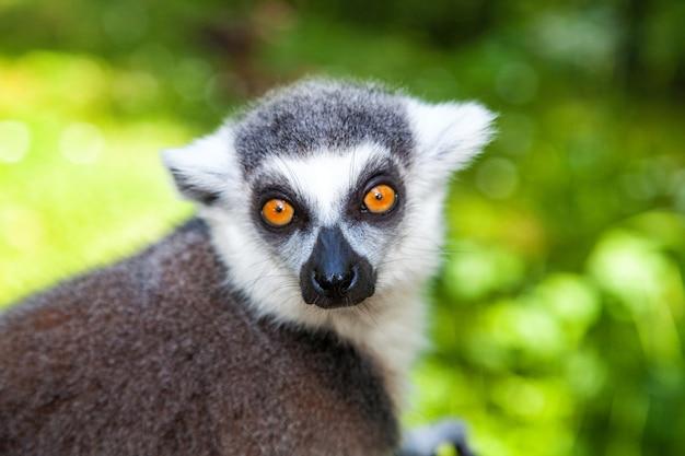 Close-up portret van ringstaartmaki, lemur catta