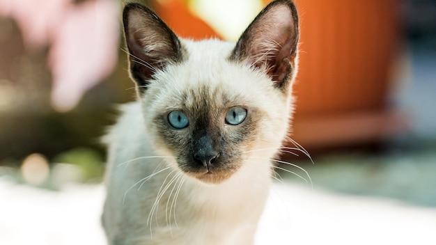 Close-up portret van siamese kitten in de camera kijken, sochi
