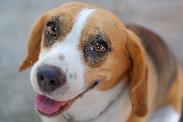 Close-up portret van tricolor beagle hond, focus op het oog