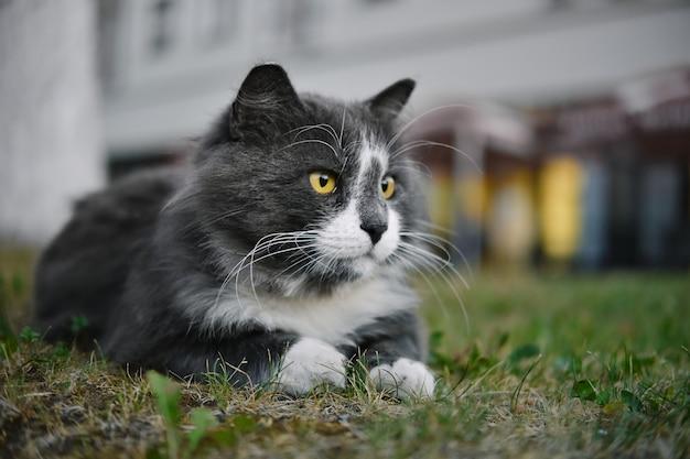 Close-up portret van wit-grijze kat met gele ogen liggend in gras buitenshuis.