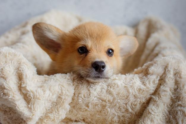 Close-up portretten van een corgi puppy in een deken
