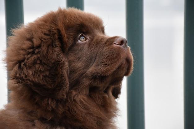 Close-up profiel van een lieve bruine newfie puppy dog