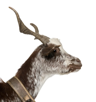 Close-up profiel van vrouwelijke rove geit, permanent