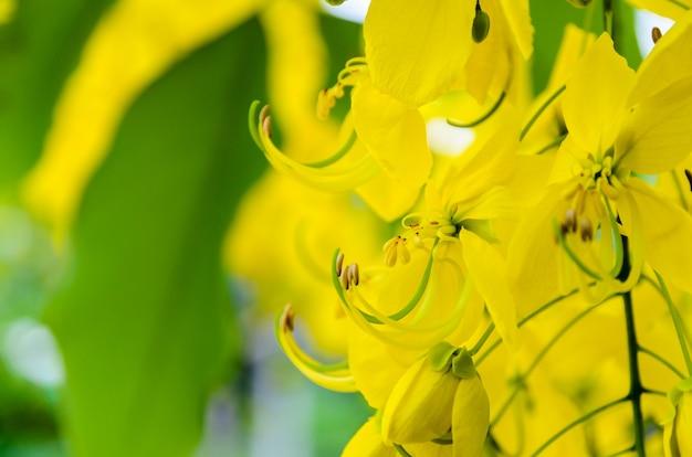 Close-up purging cassia of ratchaphruek bloemen (cassis fistula) nationale bloem van thailand met heldere gele schoonheid