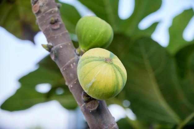 Close-up rijpende gestreepte vijgeboom
