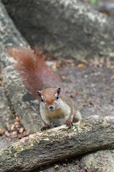 Close-up roodbruine kleur een eekhoorn spelen in een botanische tuin.