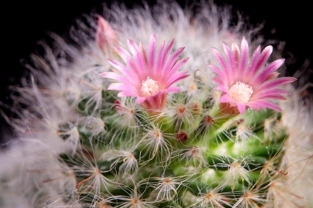 Close-up roze bloem van mammillaria bloeiend