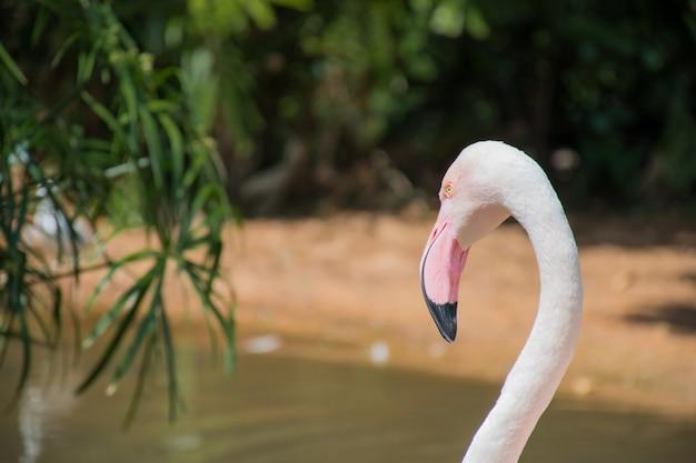 Close-up, roze flamingo gezicht tegen een green