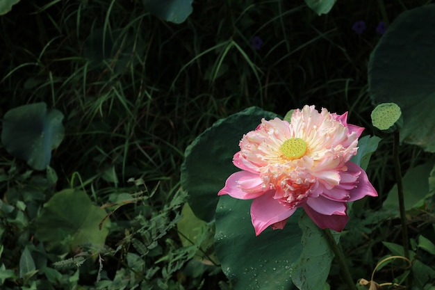Close-up roze lotus bloeien in vijver