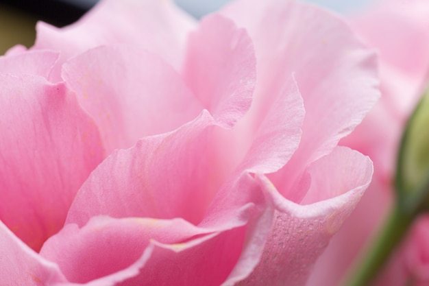 Close-up roze roos met onscherpe achtergrond