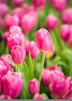 Close-up roze tulpenbloemen bloeien in lentetuin Premium Foto